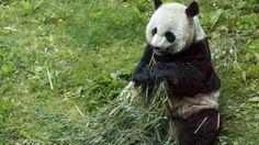 Il panda gigante rischia di morire di fame a causa della distruzione di 1300 ettari di foresta nella provincia cinese di Sichuan.