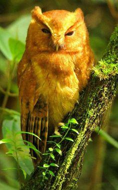 Cinnamon Screech-Owl - Megascops petersoni 5 - San Vicente de Chucuri, E Andes Exotic Birds, Colorful Birds, Beautiful Owl, Animals Beautiful, Hello Gorgeous, Owl Bird, Pet Birds, Nocturnal Birds, Screech Owl