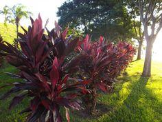 dracena vermelha paisagismo - Pesquisa Google