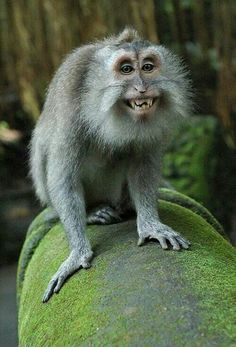 We've gathered our favorite ideas for Spider Monkey Chimerahybrids 7 Smiling Animals, Explore our list of popular images of Spider Monkey Chimerahybrids 7 Smiling Animals. Smiling Animals, Cute Monkey, Rare Animals, Happy Animals, Animals And Pets, Funny Animals, Primates, Mammals, Cutest Animals