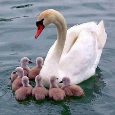 Beautiful Swans and their Babies on Pinterest | Beautiful ...