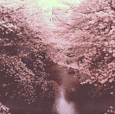 sakura, #cherryblossoms (For my little cherry blossom girl kitten, Sakura.)