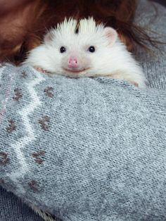{a very cozy Loki the hedgehog} sweetest little face