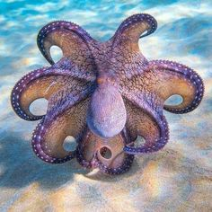 Octopus striking a pose by saltyblackphotography