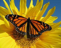 Monarch Butterfly Endangered   ;)