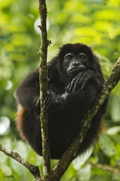 mantled howler by Christian Sanchez