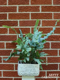 Blue star ferns (Phlebodium aureum) are among the most popular houseplants today. Learn how to care for these beauties, including advice on repotting, watering, fertilizing, and dividing. #houseplants #gardening Container Gardening, Gardening Tips, Deer Resistant Annuals, Ferns Care, Leaf Structure, New Roots, Unusual Flowers, Organic Fertilizer, Different Plants