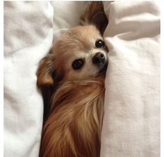 This little fur baby looks like she is related to Dolly Buffy and Bambi. Cute Chihuahua, Chihuahua Puppies, Cute Puppies, Cute Dogs, Dogs And Puppies, Chihuahuas, Doggies, Little Dogs, Big Dogs