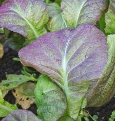 Plant some Osaka Purple organic mustard seeds for fall or winter harvest or for spring harvest of tasty mustard greens in your organic vegetable garden.
