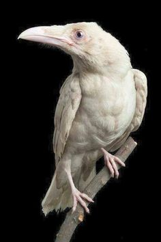 This is Pearl, an extremely rare white Raven. Photo/Devlin Gandy