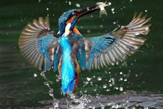 A kingfisher catches a fish near a pond at Guandu Nature Park in Taipei.  ZUMApress.com