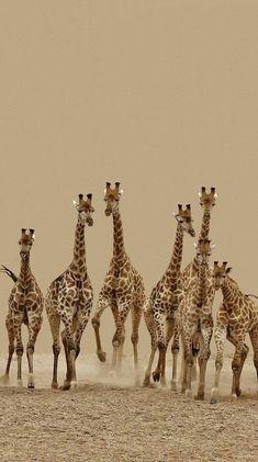 Giraffe herd in Africa Nature Animals, Animals And Pets, Baby Animals, Cute Animals, Giraffe Pictures, Animal Pictures, Beautiful Creatures, Animals Beautiful, Giraffe Art