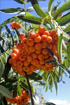 Fruits of Rowan tree