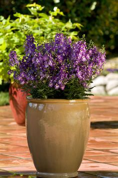 Best Plants for Container Gardening Angelonia Delicate but heat-tolerant angelonia, also called summer snapdragon, doesn't need to be deadheaded (have spent blooms plucked off) to keep blooming all season.Bloom Bloom or blooming may refer to: Container Flowers, Container Plants, Container Gardening, Gardening Tips, Plant Containers, Outdoor Flowers, Outdoor Plants, Outdoor Gardens, Potted Plants