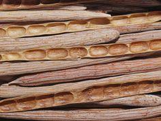 horse mulga seed pods : jason edwards