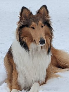 Collie Mix, Rough Collie, Best Dog Breeds, Best Dogs, Pyrenean Mastiff, Sheep Dogs, The Perfect Dog, Sheltie, Chihuahua