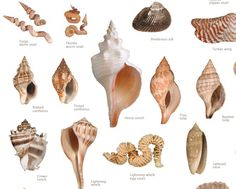 Sanibel ID for shells