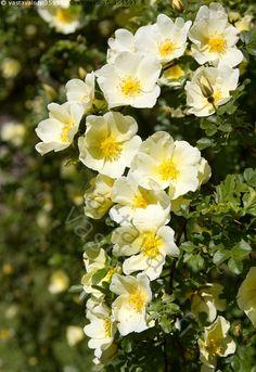 keltainen juhanusruusu - juhannusruusu keltainen muunnos pensas piikkinen ruusu rosa pimpinellafolia juhannus