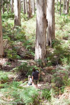 A Drive Through The Boranup Karri Forest, Western Australia Travel With Kids, Family Travel, Family Trips, Western Australia, Australia Travel, Travel Expert, Country Life, Places To See, Things To Do