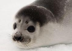 Ribbon Seal | Phoca fasciata