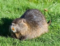 nutria, a rat-like pest ravaging gulf coast wetlands, can be lured