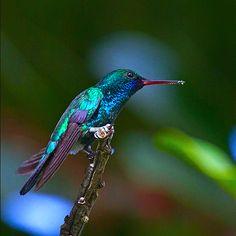Chlorestes notata Hummingbird