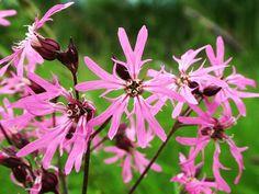 Lychnis flos cuculi Ragged Robin (3 plug plants) Cuckoo Flower - Bee, butterfly & moth; damp boggy marginal ground UK native wildflower by RootGarden on Etsy