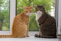 Если вы завели вторую кошку... Как познакомить и подружить кошек. Самые сильные…