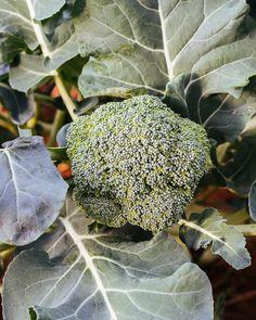 Νόστιμα και υγιεινά λαχανικά που φυτεύουμε το φθινόπωρο σε κήπο και σε γλάστρα στο μπαλκόνι χωρίς να χρειάζονται ιδιαίτερη φροντίδα. Fruit, Food, Decor, Decoration, Essen, Meals, Decorating, Yemek, Eten