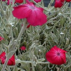 Coquelourde 'Rubra' - Plantes et Jardins