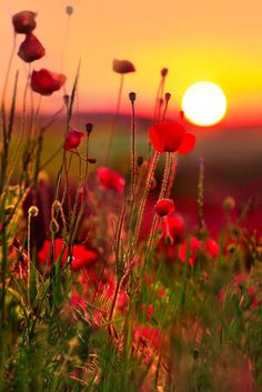 Imagine the world without the color of Poppy Field Sunsets, in France. Beautiful Sunset, Beautiful World, Beautiful Flowers, Beautiful Places, Simply Beautiful, Beautiful Morning, Beautiful Scenery, Stunning View, Wonderful Places