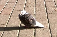 The creature of Tampere City called Pulu. #tampere #tammerfors #city #pigeon #pulu #bird #finland #finnish #suomi