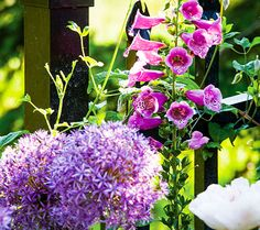 Tall alliums and hummingbird-attracting Camelot rose foxgloves stand by a clematis-entwined fence.