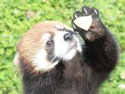 天王寺動物園でレッサーパンダお披露目 ブリーディングローンで来園