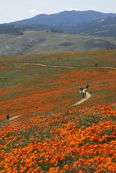 The Poppy Fields in the western Antelope Valley California