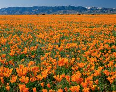 1,760-acre Antelope Valley Poppy Reserve claims the finest concentration of #California's state flower.