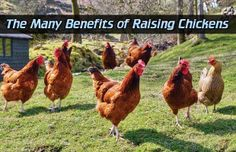 The Many Benefits of Raising Chickens Read HERE --- > http://www.livinggreenandfrugally.com/the-many-benefits-of-raising-chickens/