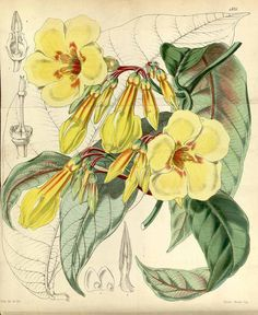 1049 Odontadenia macrantha (Roemer & Schultes) Markgr. [as Dipladenia harrisii Hook.]  / Curtis's Botanical Magazine, vol. 81 [ser. 3, vol. 11]: t. 4825 (1855) [W.H. Fitch]