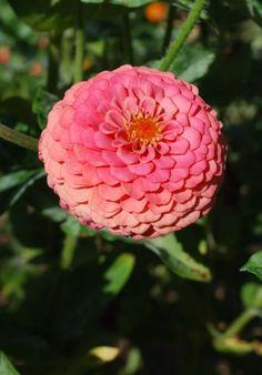 ♥♥ღPatrícia Sallum-Brasil-BH♥♥ღ Zinnia Happy Flowers, Love Flowers, Fresh Flowers, Beautiful Flowers, Wedding Flowers, Beautiful Pictures, Flower Farm, Flower Beds, Exotic Flowers