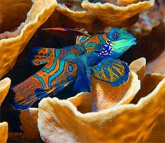 Mandarin Fish - repinned by www.CavemenTimes.com