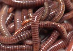 Earthworm Regeneration on Live Science
