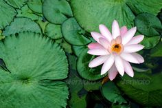 Water Lily Blossom  #aquatic #background #stock #beautiful #calm #blossom #bloom #water #lily #innocent #pretty #peace #zen #plant #green #lake #leaf #outdoor #leaves #lotus #exotic #flowers #garden  My Photodune  http://photodune.net/user/MyanNg/portfolio?ref=MyanNg