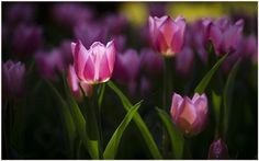 Purple Tulips Flower Wallpaper | purple tulip flower wallpaper