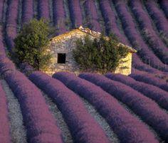 Campos de lavanda. © Only France. Qué lindo!!! Me encanta la lavanda, uno de mis aromas naturales favoritos!!! Ojalá pueda ir en breve!!