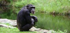 Over 100 research chimpanzees will retire to sanctuary