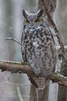 Great Horned Owl by sylvainharnois