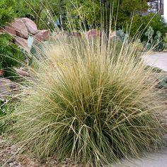 Deer Grass, Muhlenbergia rigens, is actually a deer resistant ornamental species. It is named for its mounding form that is dense enough to hide baby fawns in the North American wild. In a residential
