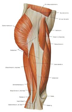 Anatomy Of The Leg Muscles And Tendons Leg Thigh Muscle Anatomy Leg Muscle And Tendon Diagram Thigh Muscle Anatomy, Leg Muscles Anatomy, Human Muscle Anatomy, Leg Anatomy, Anatomy Bones, Human Anatomy And Physiology, Anatomy Study, Anatomy Drawing, Anatomy Art
