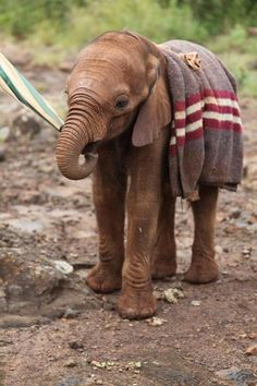 adopt an orphaned elephant from the David Sheldrick Wildlife Trust for as little as $50.00 a year.