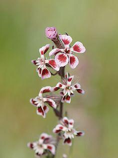 Silene gallica var. quinquevulnera - Franse Silene -eenjarig -rode lijst -15-50cm -kleverig behaard -bloemen (1cm) per 5-10 op aar -wit, lichtlila of wit met rode vlek -vochtige, matig voedselarme zandgrond